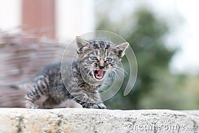 小的猫呜呜的叫声