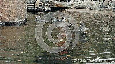 小组嬉戏和高度社会非洲企鹅聚集在水边缘在他们的栖所封入物在公众 股票视频