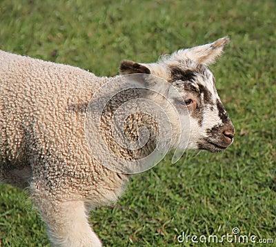 小羊羔.图片