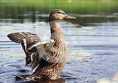 少年野鸭鸭子拍动翼