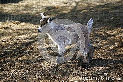 尼日利亚矮小的山羊孩子