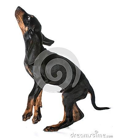 跳跃的狗-染黑并且晒黑在白色背景的猎浣熊的猎犬小狗.