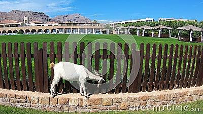 山羊在旅游海滩自由地吃草罗得岛海岛,希腊 股票录像