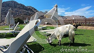 山羊在旅游海滩自由地吃草罗得岛海岛,希腊 股票视频