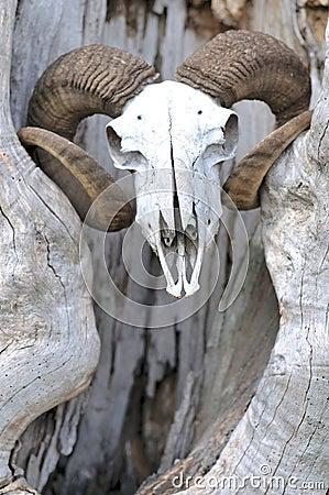 山羊顶头头骨