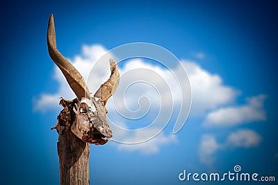 山羊头骨 免版税图库摄影