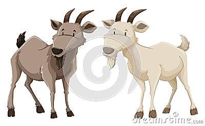 在白色背景的两只常设山羊.图片