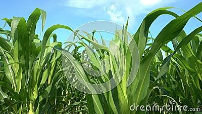 山背绿玉米田与夏日阳光日农场农家舍 股票视频