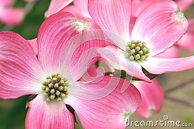 山茱萸开花的粉红色
