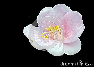 山茶花开花