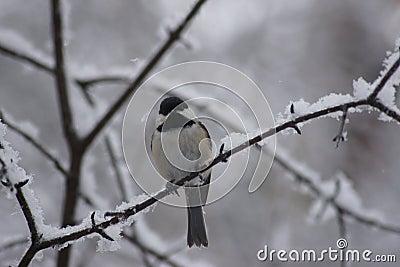 染黑基于鹦鹉的加盖的山雀报道用雪和冰.分支蛋出售图片