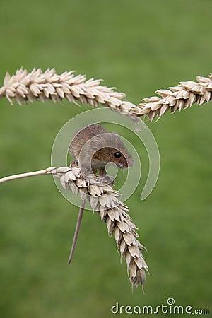 巢鼠, Micromys minutus