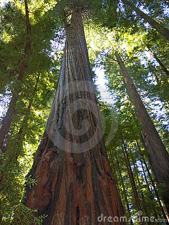 巨型红木结构树