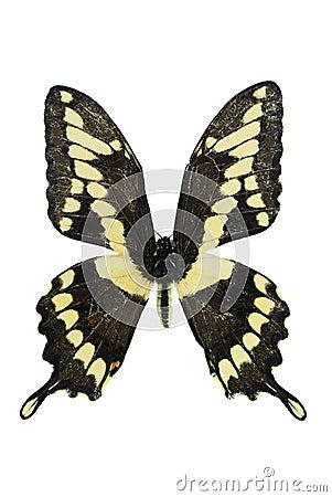巨型swallowtail