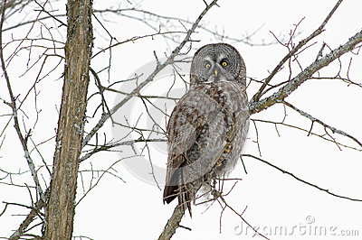 巨大灰色猫头鹰在冬天