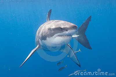 巨大guadalupe海岛鲨鱼白色