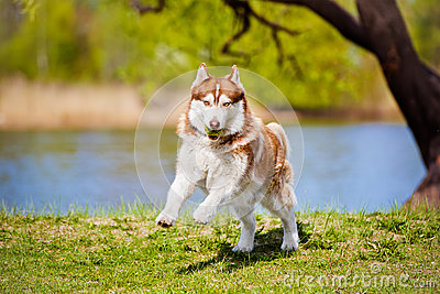 狗和人�y�'��)�al�����:)�h�_布朗西伯利亚爱斯基摩人狗