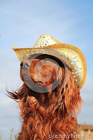 帽子爱尔兰赤毛的塞特种猎狗