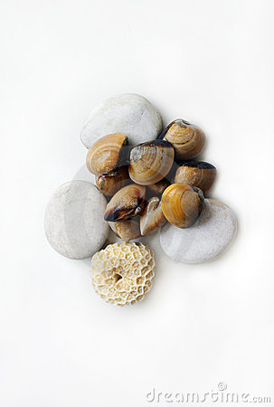 平直蛤蜊新鲜的海运