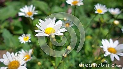开花在夏天庭院里的美丽的雏菊在阳光下,慢动作