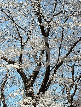 开花樱桃纵向
