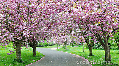 开花樱桃路径