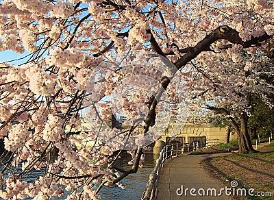开花樱桃隧道
