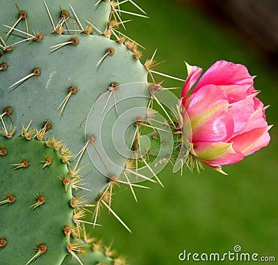 开花的仙人掌花