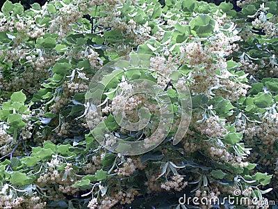 开花flores tilliae
