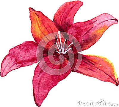 由水彩,手拉的传染媒介例证的红色百合花图画.