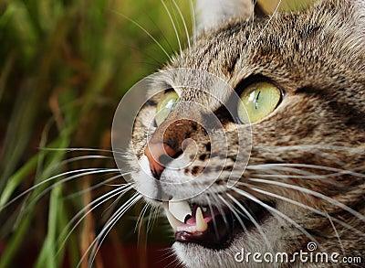 恼怒的猫狩猎