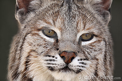 成人美洲野猫
