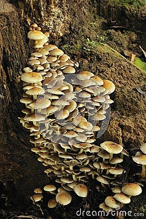 成束的真菌hypholoma硫磺一束