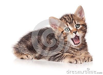 打呵欠的小猫