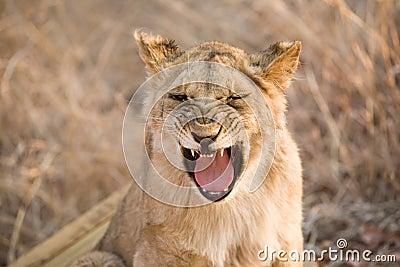 打呵欠的狮子