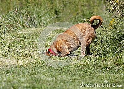 拳击手或Rhodesian ridgeback混合的品种狗