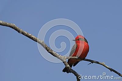 捕蝇器朱红色