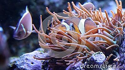 掩藏在珊瑚的小丑鱼 股票录像
