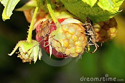 提供rasberries盾的臭虫