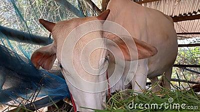 摊上棕牛和白草 白牛看家政农业 股票视频