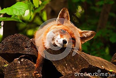 放松的狐狸