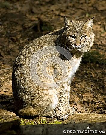 放松的美洲野猫