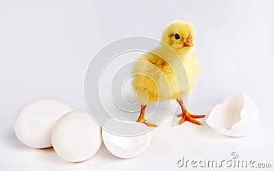 新出生的小鸡