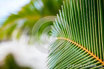 新鲜的绿色棕榈树叶子图片
