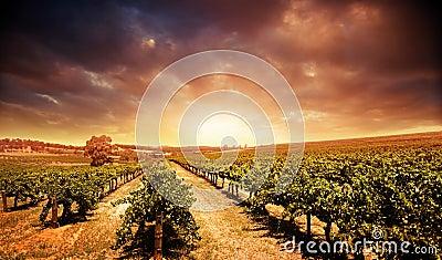 日落葡萄园