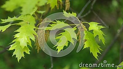 春天北赤栎叶子和花在微风,4K的 影视素材