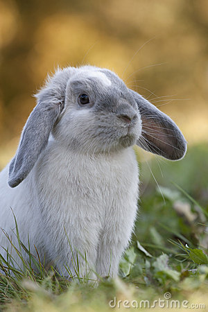 暹罗语蓝色的兔子