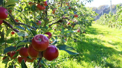 有机红色苹果在苹果树