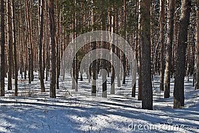 杉木树干在冬天森林里