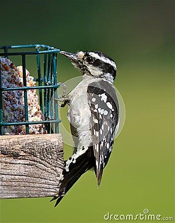 柔软的啄木鸟